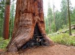 The largest of the 6 Sequoias at 12ft diameter