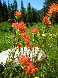 Paintbrush, Gold Valley